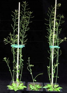 On the right is an Arabidopsis plant engineered to reduce the xylan content while preserving the structural integrity of its cell walls. It compares favorably to wild type plant on the far left. In the middle is a xylan-deficient mutant.